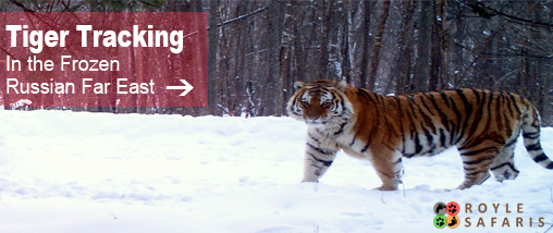 Siberian Tiger Tracking Holiday